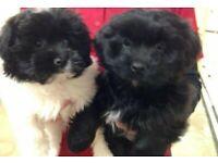 Caverpoo pups