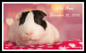 Jiggley Piggley Farm Guinea pig adoptions Small Animal Services