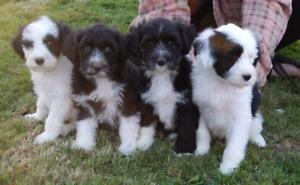 Chien d'eau portugais (chiots) Portuguese water dog (puppy)
