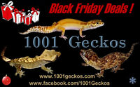 Geckos - Black Friday Sale! Watch|Share |Print|Report Ad