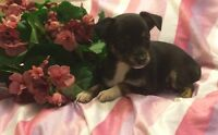 chihuahua x toy fox terrier  puppies !!