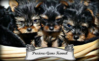~~**~~ MINATURE YORKIE PUPS.~~**~~  ALL SOLD ~~**~~