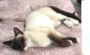MISSING $1500 CASH REWARD SMALL SIAMESE WITH WHITE PAWS