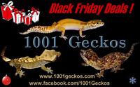 Geckos - Black Friday Sale!