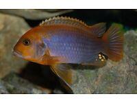 Tropical fish- Rusty cichlid