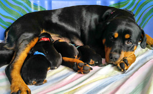 2 FEMALES....Rottweiler Pups !
