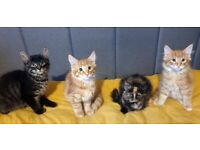 4 x Maine Coon x British Shorthair kittens available to go to loving homes.