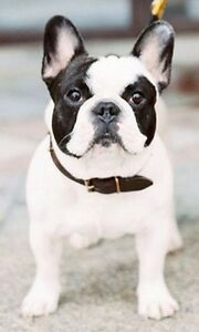 Looking for an adult Frenchie!