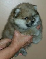 Pomeranian Puppies - Fluffy and Registered