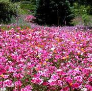 Fuchsia Seeds