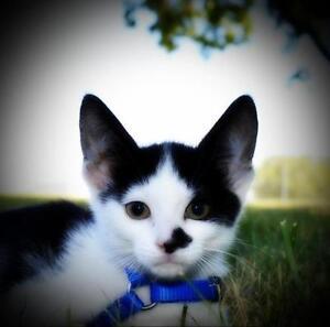 "Young Female Cat - Domestic Short Hair: ""Rarity"""