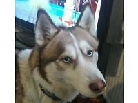 Beautiful Zeus a 2 yr old Siberian Husky needs a new home asap