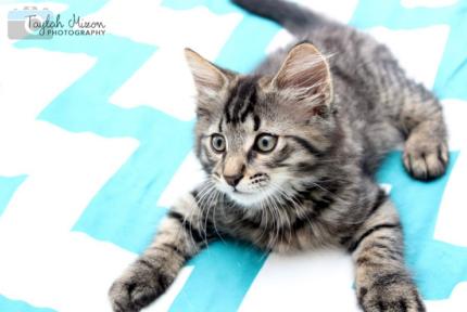 Setsona SK2374 rescue kitten- VET WORK INCLUDED
