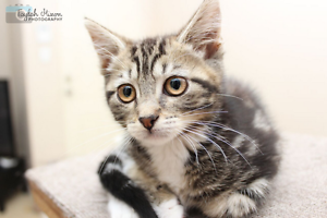 Ginny rescue KITTEN to adopt VET WORK INC Nollamara Stirling Area Preview