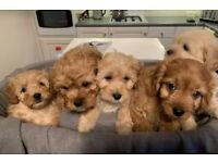 Cavapoo puppies ( mother is cavalier King Charles x miniature poodle