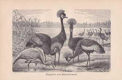 Kranich Kronenkranich Kraniche Holzstich von 1890 Jungfernkranich