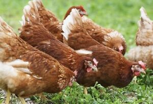 Various Chickens for sale