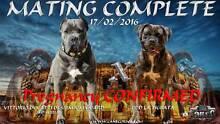 Import Sired Cane Corso / Italian Mastiff female blue pups Lewiston Mallala Area Preview
