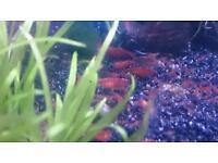 Tropical fish red cherry shrimp
