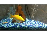 Gold Fish Yellow Comet