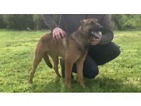 KC Registered Belgian Malinois pup/puppies (German shepherd, dutch herder)