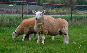 North Country Cheviot Ram Lambs