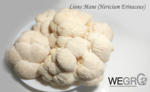 Home-grown Lions Mane Mushrooms (TRADE or BUY)