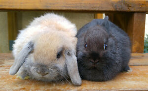 Bonded pair of purebred bunnies
