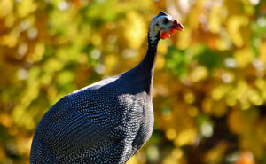 Guinea Fowls pairs for sale (10month old)