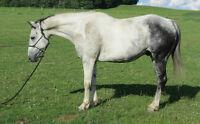 Cheval Gelding Paint Horse Enregistré APHA