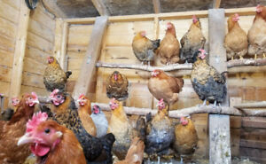 Laying Hens - Most 10 mths old.