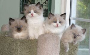 Purebred RAGDOLL kittens -   NEW LITTERS HAVE ARRIVED