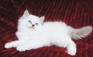 BEAUTIFUL RAGDOLL KITTENS - SUPER FRIENDLY