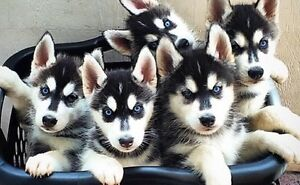 LOOKING FOR HUSKY BREEDER