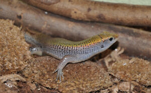 4 baby Green Madagascan Zonosaurs for sale