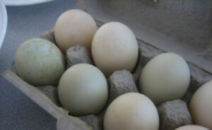 Fertilized Call Duck Eggs