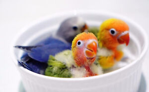 ❤♥☆♥ Fischer Love Bird ♥ Babies with Cage and Food ♥☆♥❤