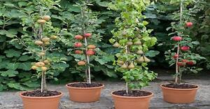 2 X fruit TREES~Cherry tree & Apple tree~stay small if potted,ideal patio fruit}
