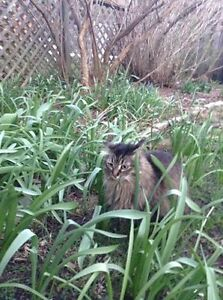 Long Haired Brown Female Tabby Missing London Ontario image 2