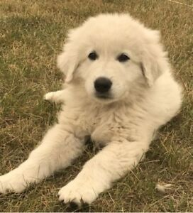 Sweet Fluffy White  Maremma puppies **** only 1 male left