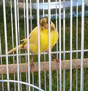 Healthy Beautiful Canaries for sale!