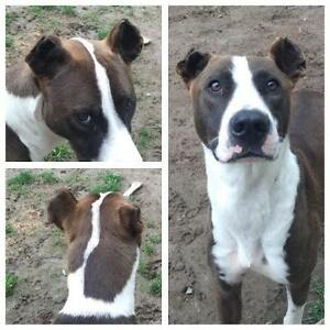 "Young Male Dog - Border Collie-Great Dane: ""Bruno"""