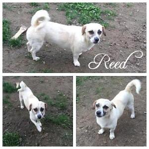 "Adult Male Dog - Dachshund-Terrier: ""Reed"""