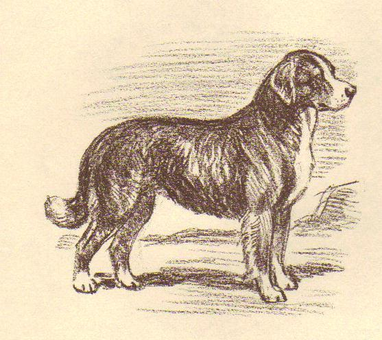 Bernese Mountain Dog - Vintage Dog Print - 1954 Megarge