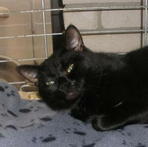 "Adult Male Cat - Domestic Short Hair: ""Steve 16 (Curtis)"""