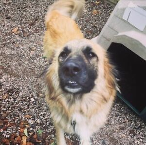 "Adult Female Dog - German Shepherd Dog-Great Pyrenees: ""Lily"""