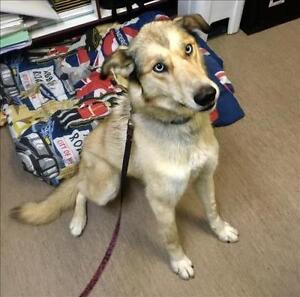 "Adult Female Dog - Husky-Greyhound: ""Sadie"""