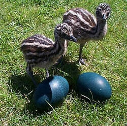 Two (2) Fresh, Fertile Emu Eggs for Hatching Incubating