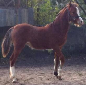 Welsh D Filly Morisset Lake Macquarie Area Preview