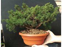 Quality juniperus Chinenisis Wood Prebonsai